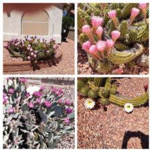Teri Namon Beautiful cacti bloom in SunBird!