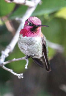 Two photos of an Anna's hummingbird in my backyard (Photos by Kendall Ronning)