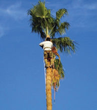 The golf course palm trees were trimmed starting July 15. We have over 215 palm trees and pay over $6,000 each year to trim them.