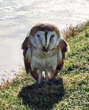 An injured barn owl rescued lakeside on the golf course (Submitted by SunBird Patrol)
